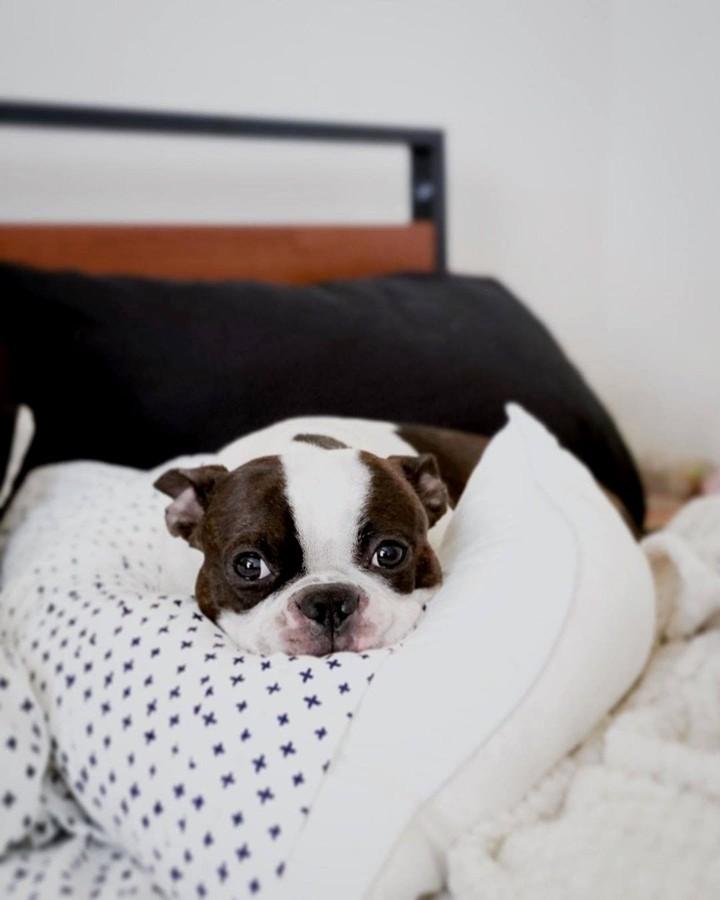 Không nên mua chó Boston quá rẻ