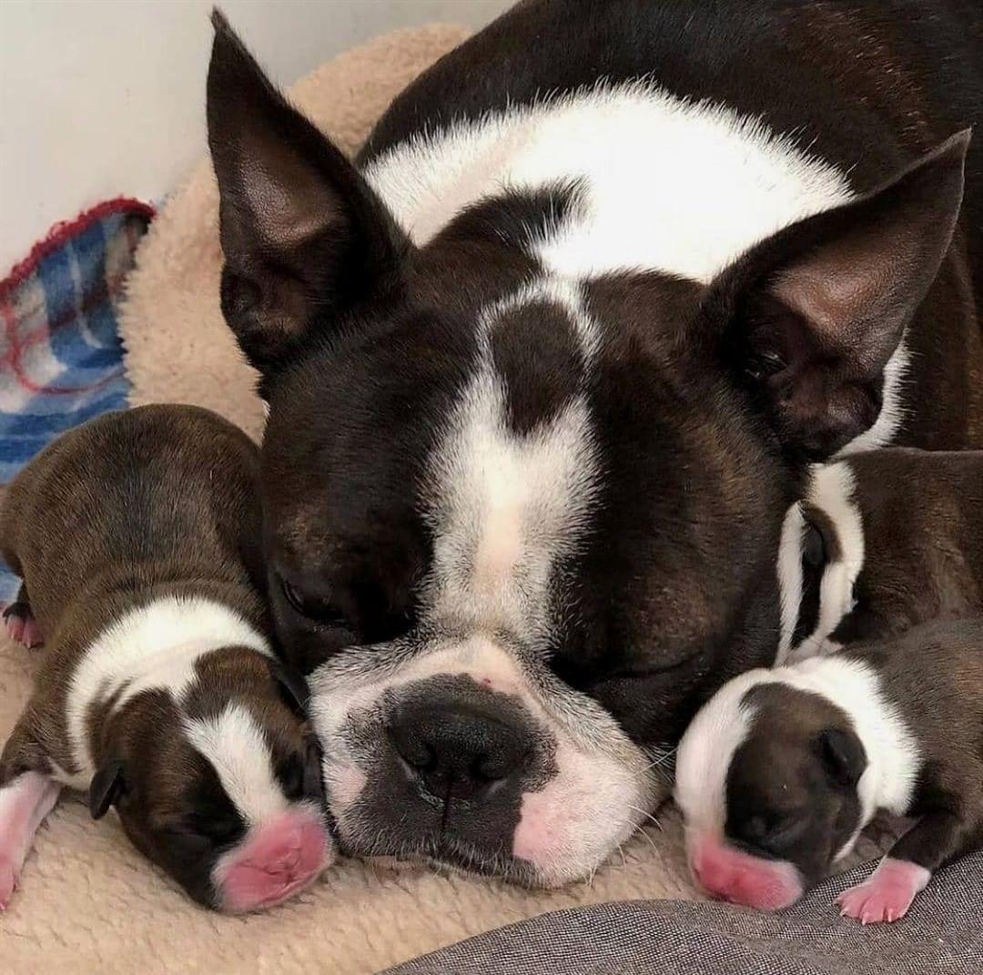 Bảng giá Chó Boston Terrier – Kiến thức mua bán chó Boston Terrier