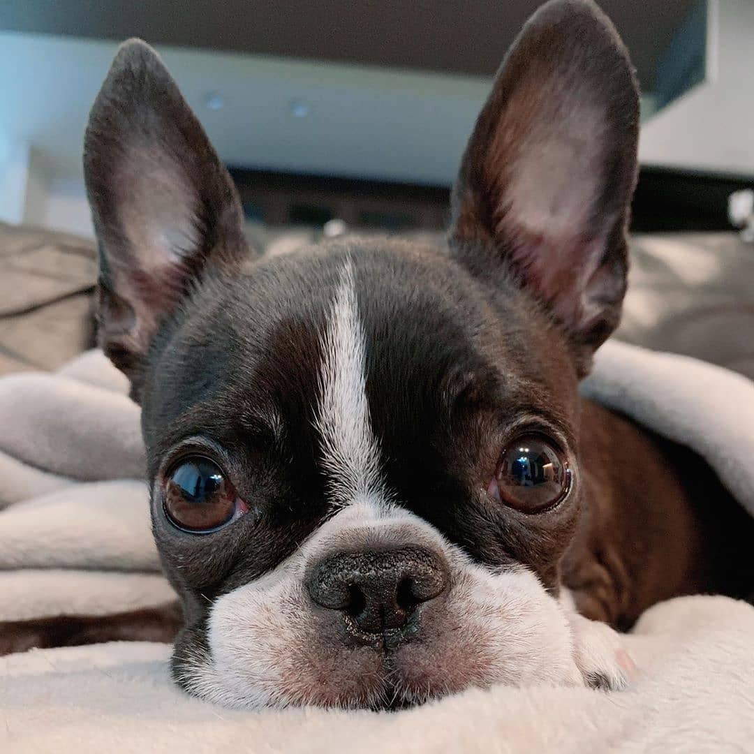 anh cho boston terrier158