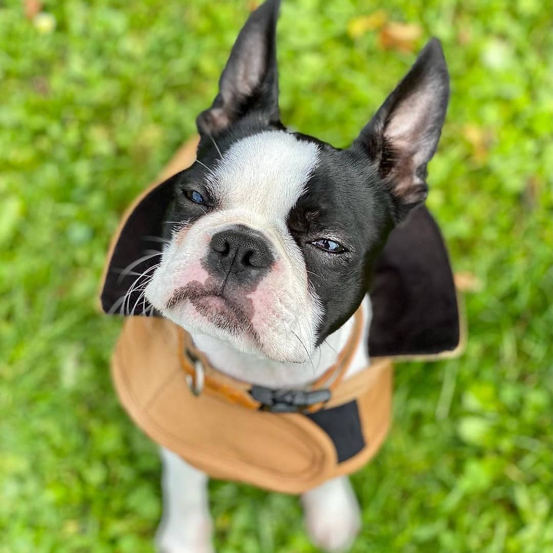 anh cho boston terrier161