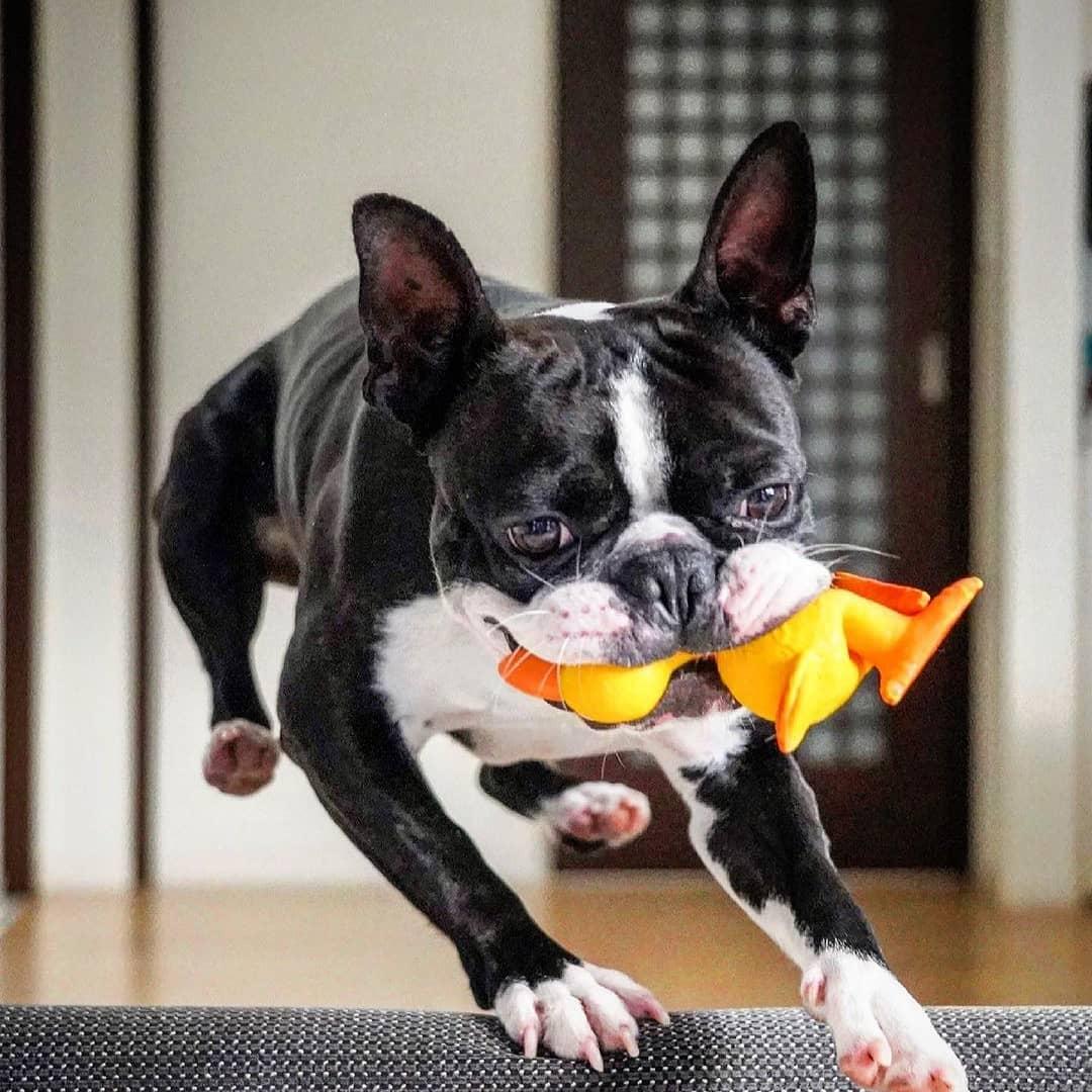 Vệ sinh cho Boston Terriergiúp chúng luôn sạch sẽ