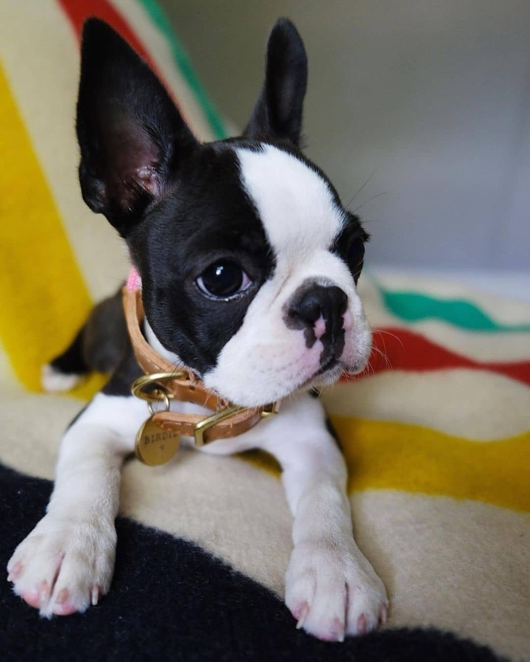 anh cho boston terrier164