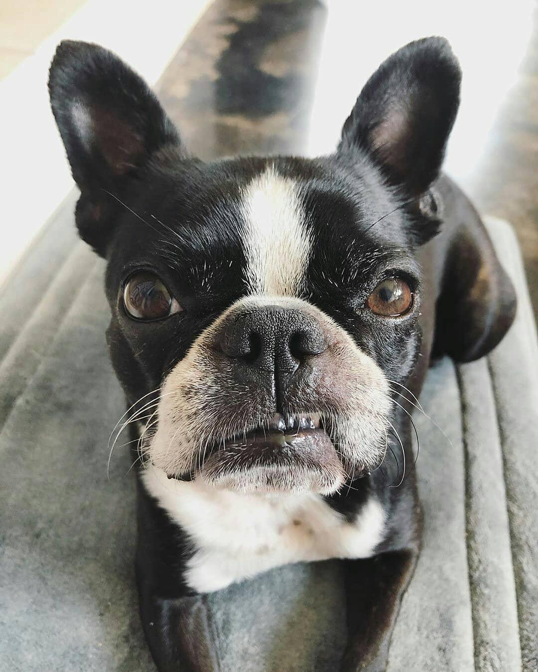 Thức ăn khô cho Boston Terrier