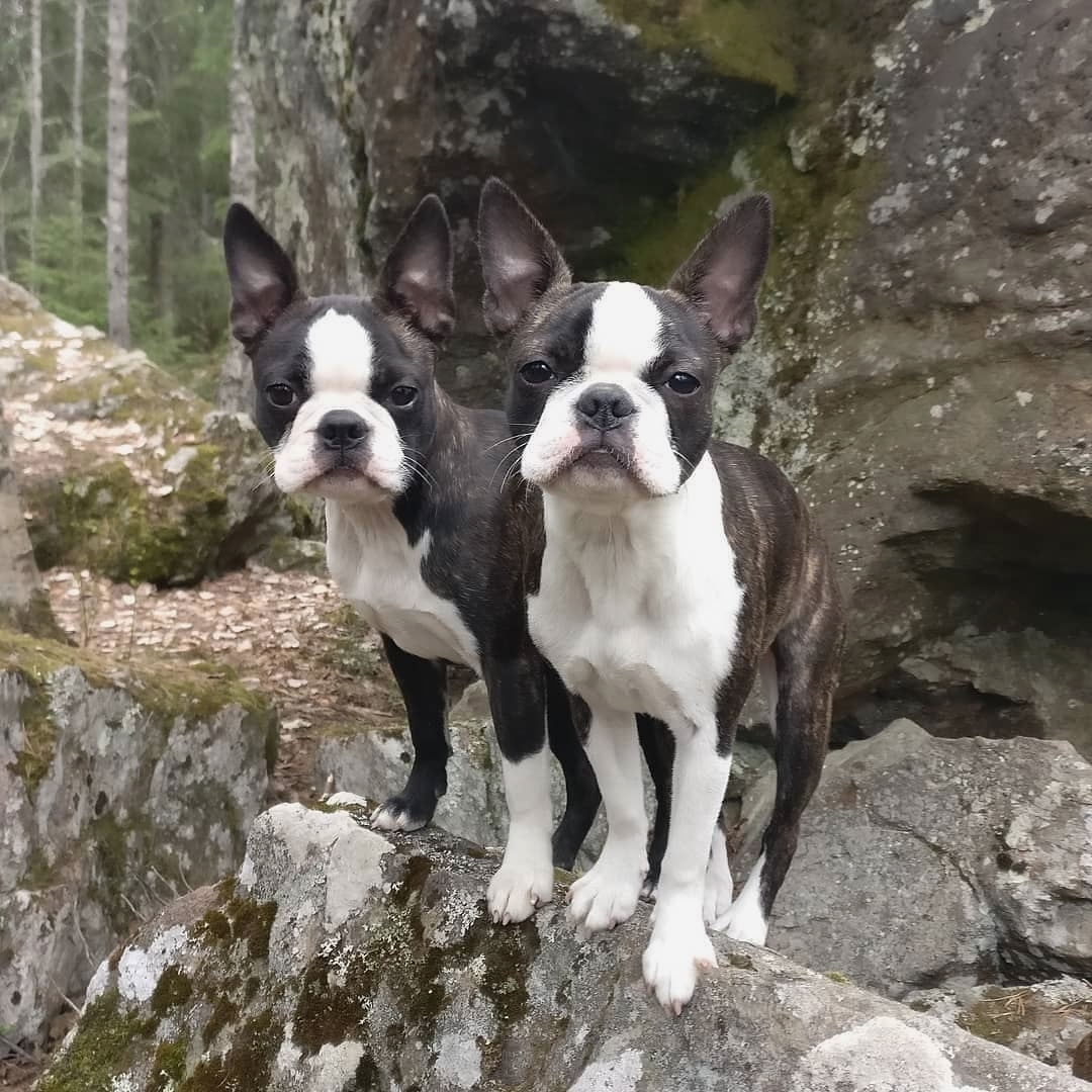 anh cho boston terrier57