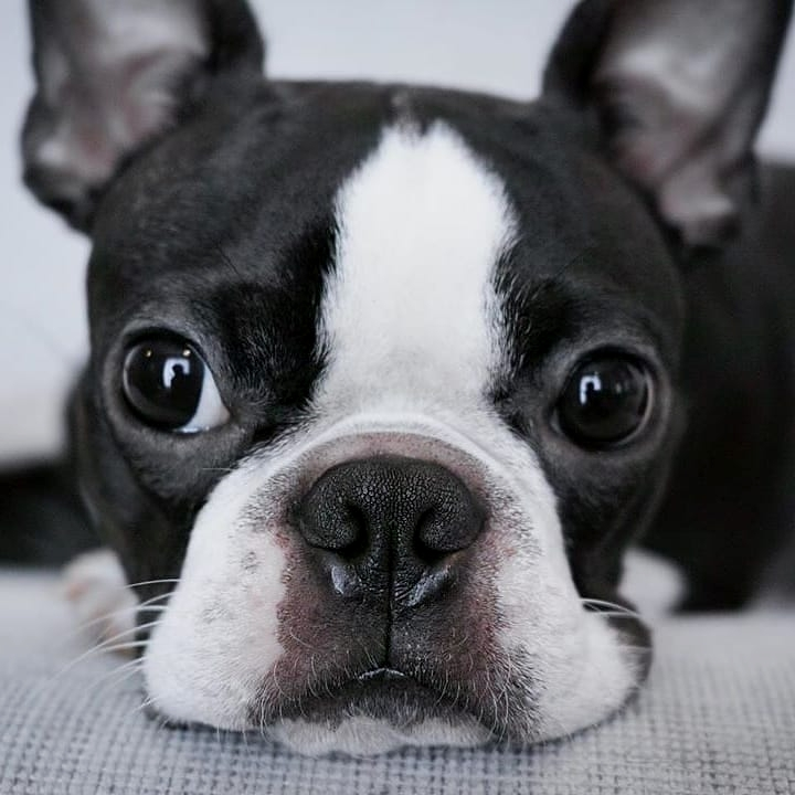 anh cho boston terrier98