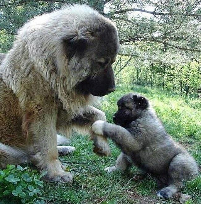 Chó Caucasian (Chó Chăn Cừu Kavkaz) - Giống Chó Nghiệp Vụ Khổng Lồ
