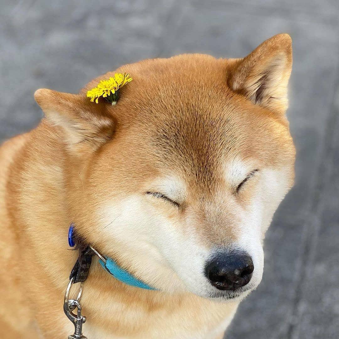 Chó Shiba Inu sinh sản