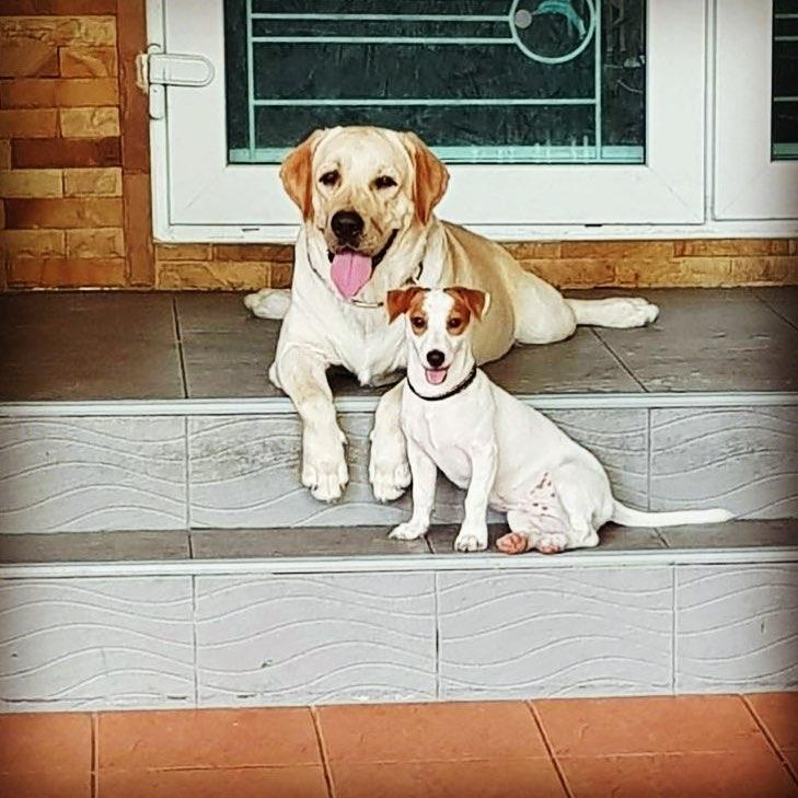 Thực tế để nuôi 1 chú chó Lab con thuần tới 2 tháng tuổi để xuất chuồng khỏe mạnh