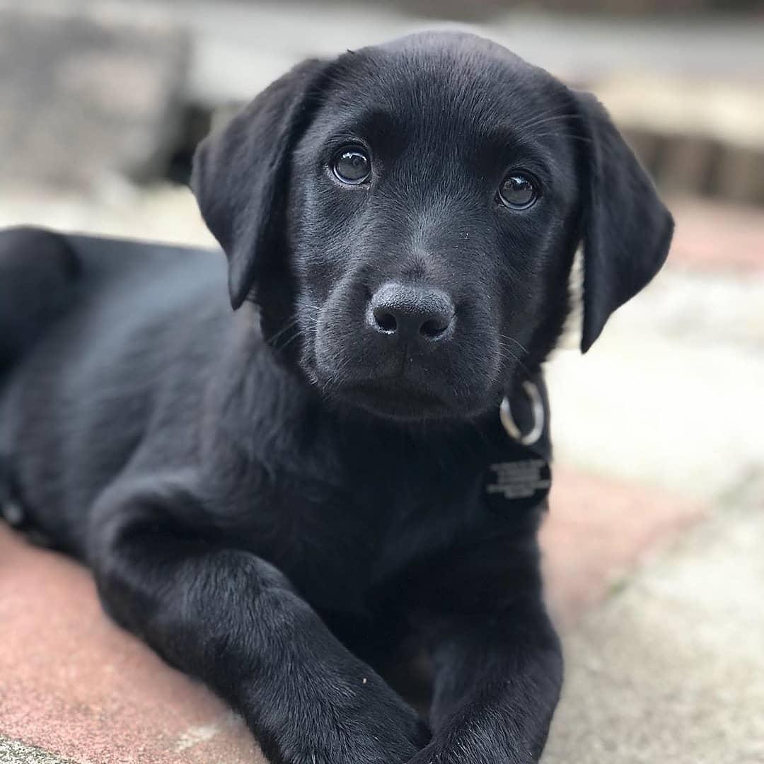 Vệ sinh cho chó Labrador