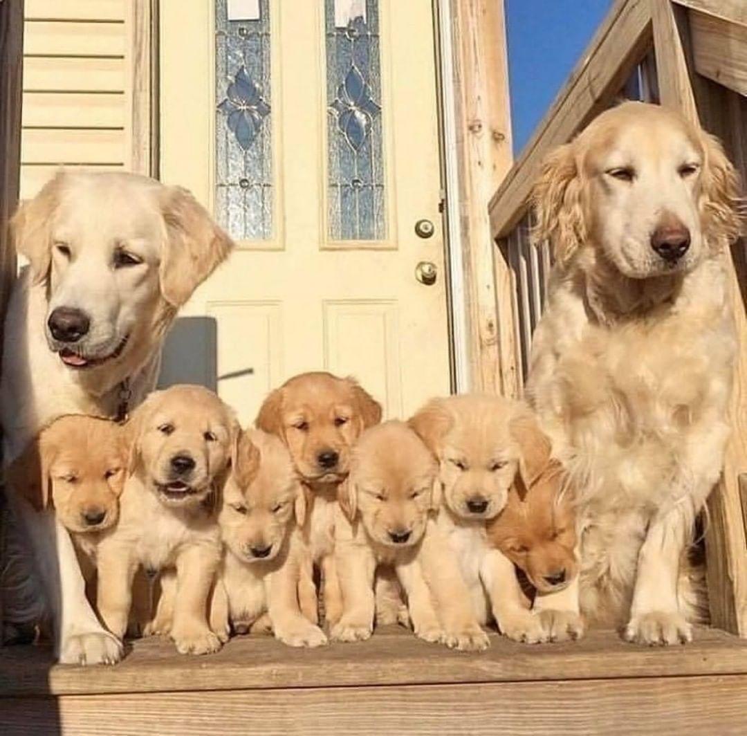 Chăm sóc chó Labrador