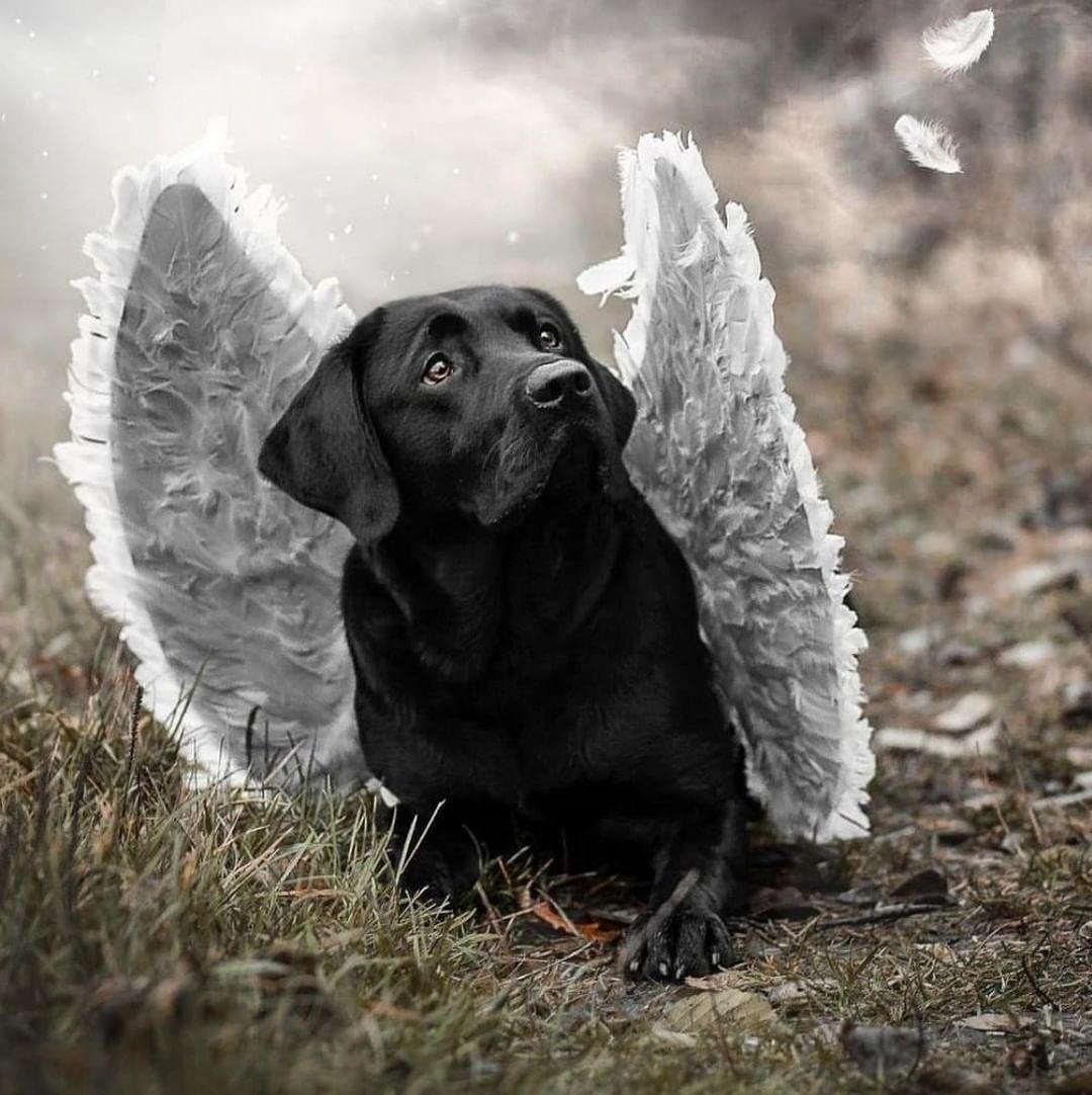 Dạy chó Labrador đi vệ sinh
