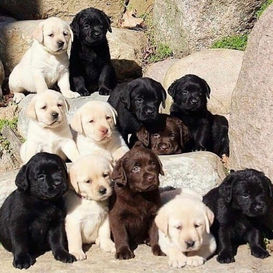 Đặc điểm tính cách chó Labrador