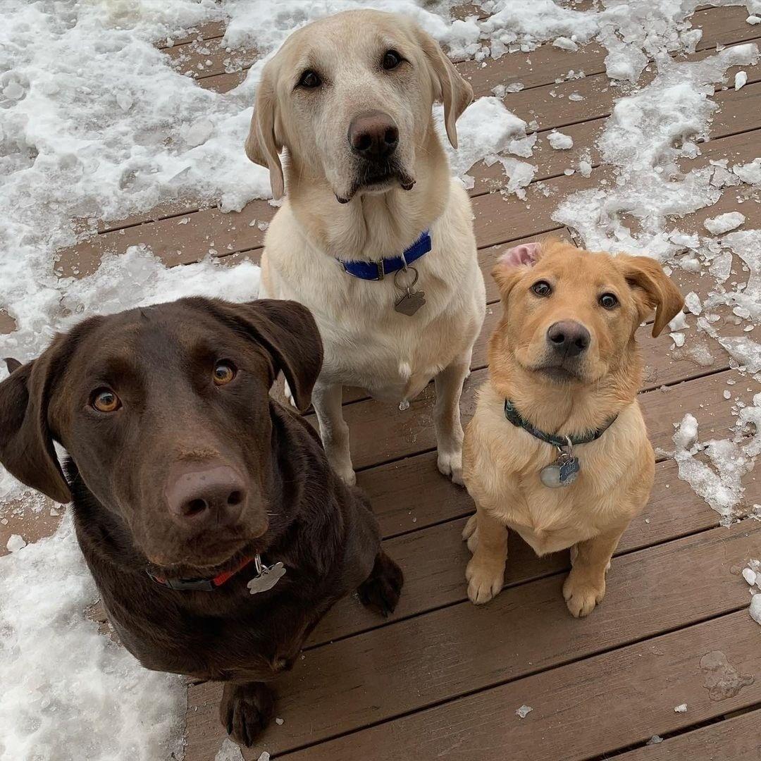 Mua chó Labrador nhập khẩu châu Âu