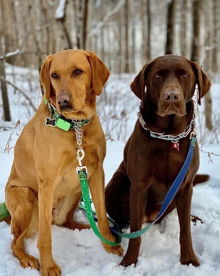 Đặc điểm chó Labrador