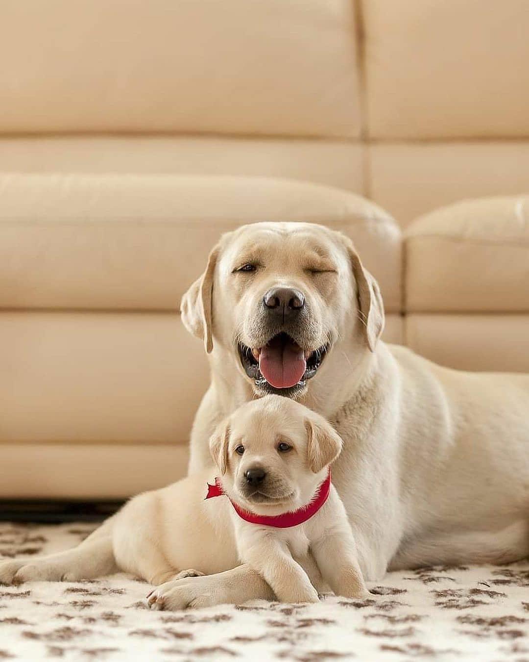 Chú ý đến môi trường sống cho Labrador