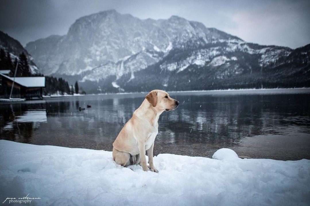 Có nên hỗ trợ chó Labrador mẹ đẻ không?