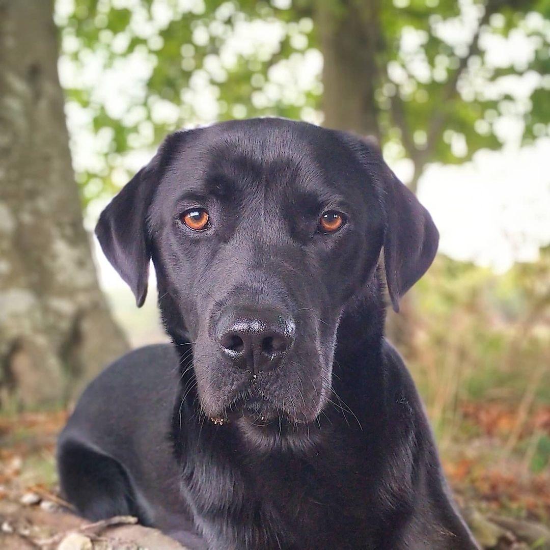 Nguồn gốc chó Labrador
