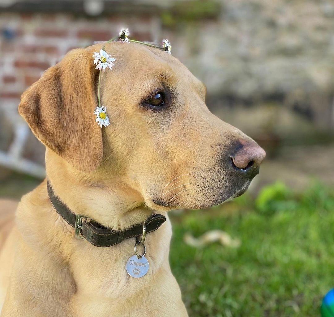 Giá chó Labrador: Chó Labrador Retriever Giá Bao Nhiêu?