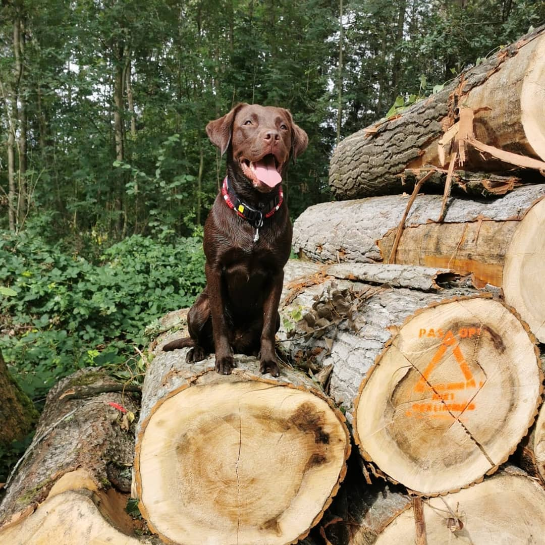 Giá chó Labrador Retriever nhập khẩu từ nước ngoài