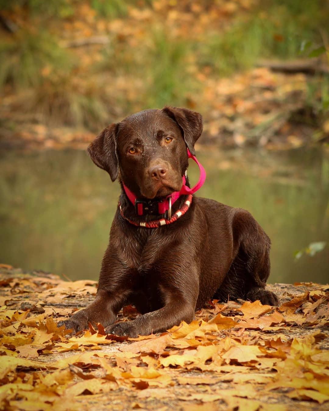 Chó Labrador bao nhiêu tháng tuổi hoàn toàn có thể cho sinh sản lần đầu?