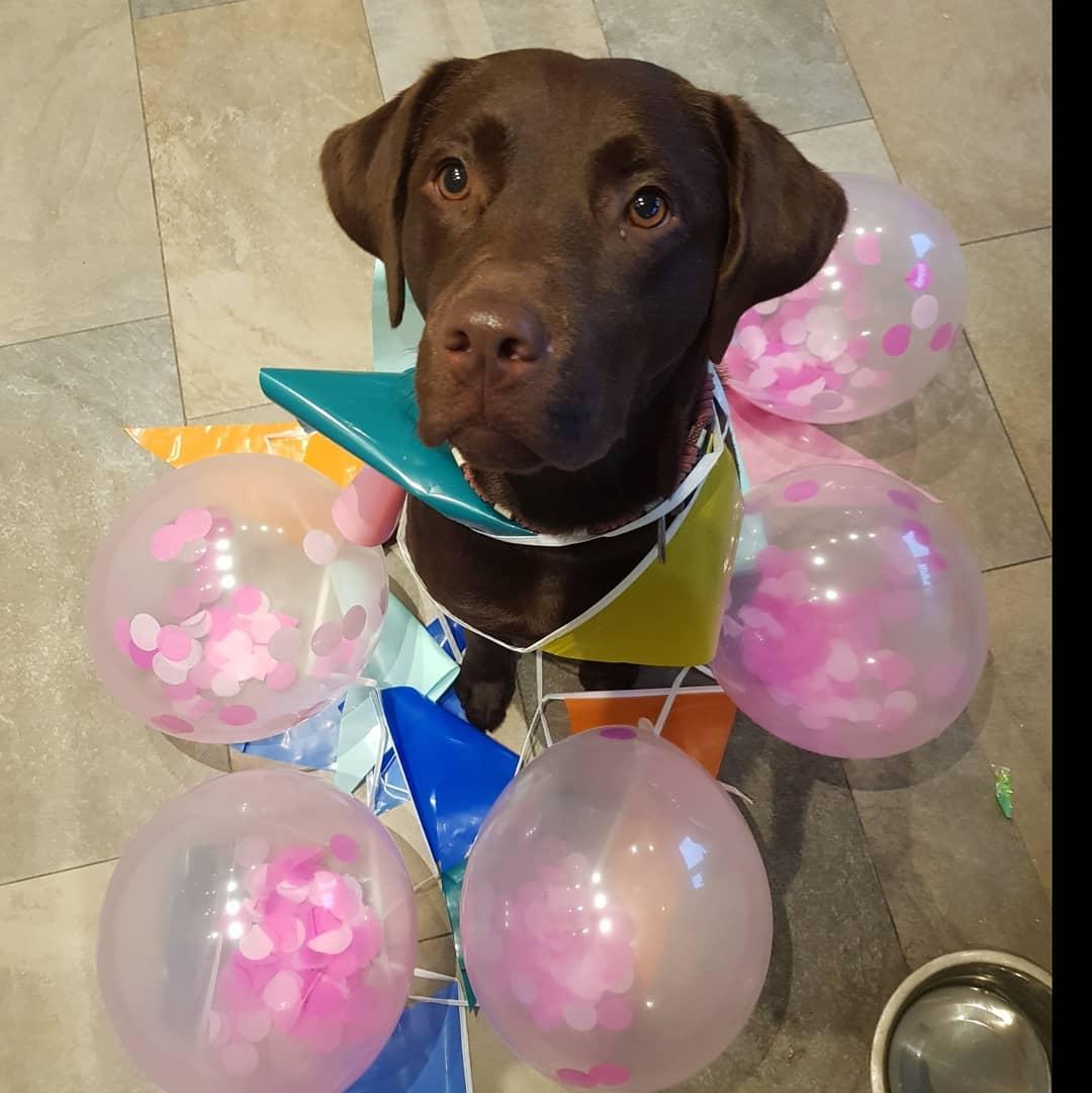 """Chó Labrador gặp phải """"phôi thai ngược""""?"""