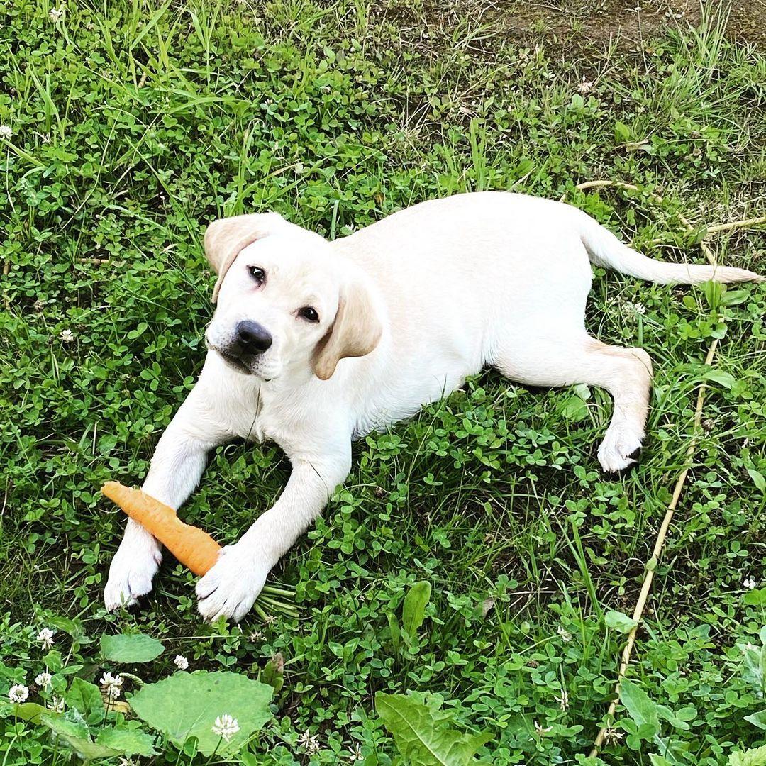 Bệnh di truyền ở chó Labrador