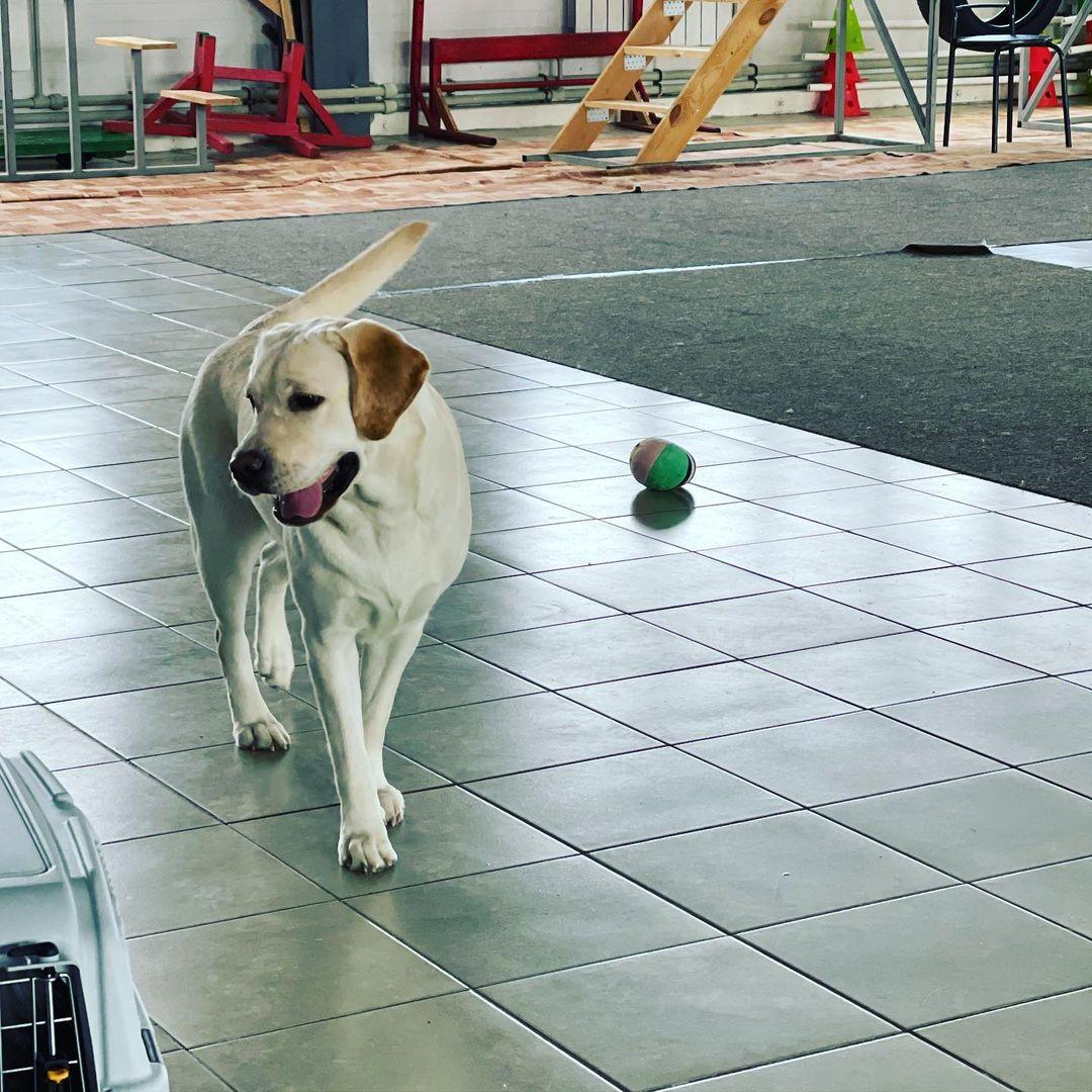 Các bệnh thường gặp ở chó Labrador