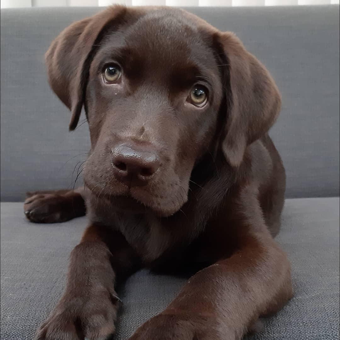 Chó Labrador Retriever nổi bật với ngoại hình mạnh mẽ và màu lông đơn sắc đen tuyền, bạch kim, vàng kem, nâu socola.