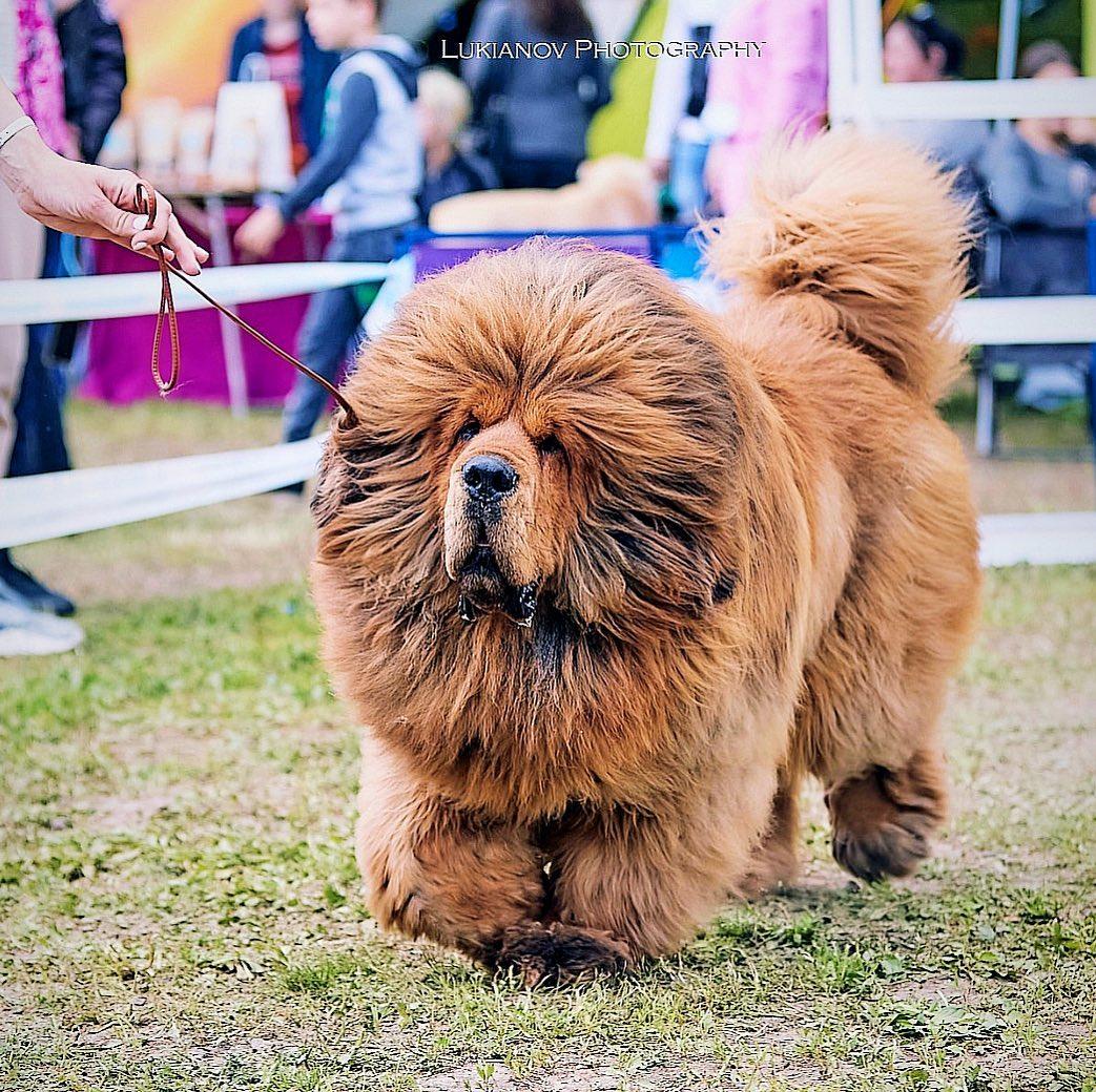 """Chó ngao Tây Tạng – """"Thần khuyển thảo nguyên"""" đắt giá bậc nhất"""