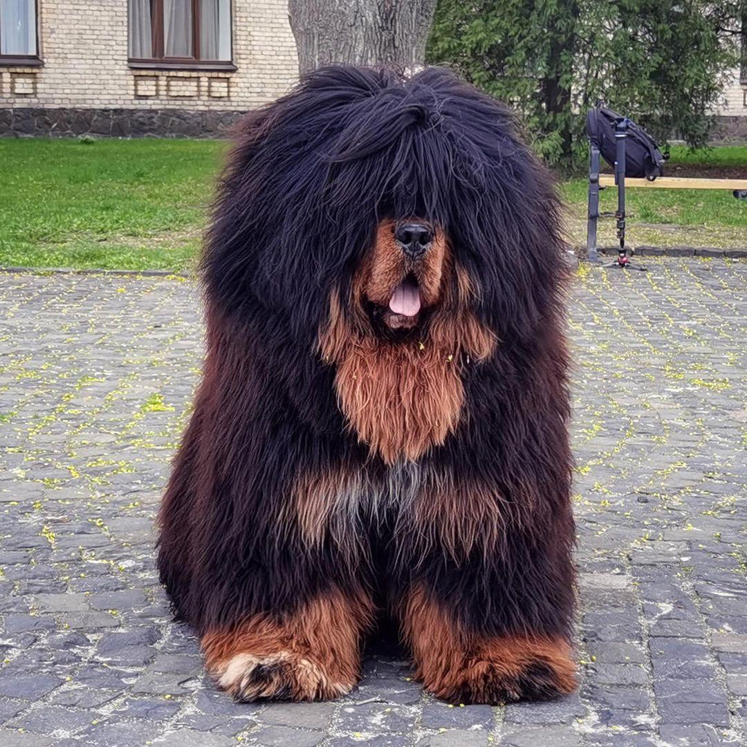Chó ngao tây Tạng -  Giống chó mạnh nhất thế giới