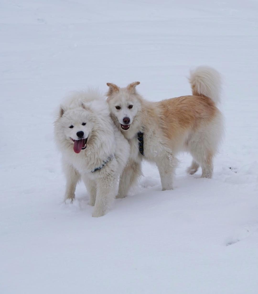Bệnh thường gặp ở chó Samoyed