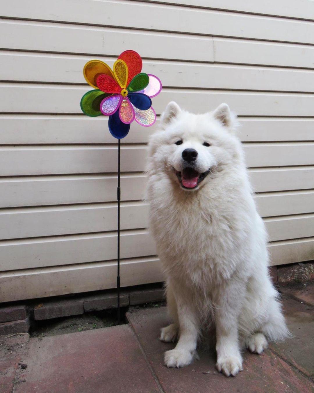 Chó Samoyed ăn đồ ăn khô được không?