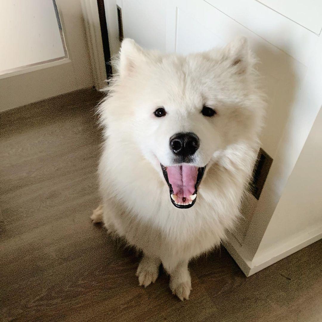 Cách Chăm Sóc Chó Samoyed 2 Tháng Tuổi