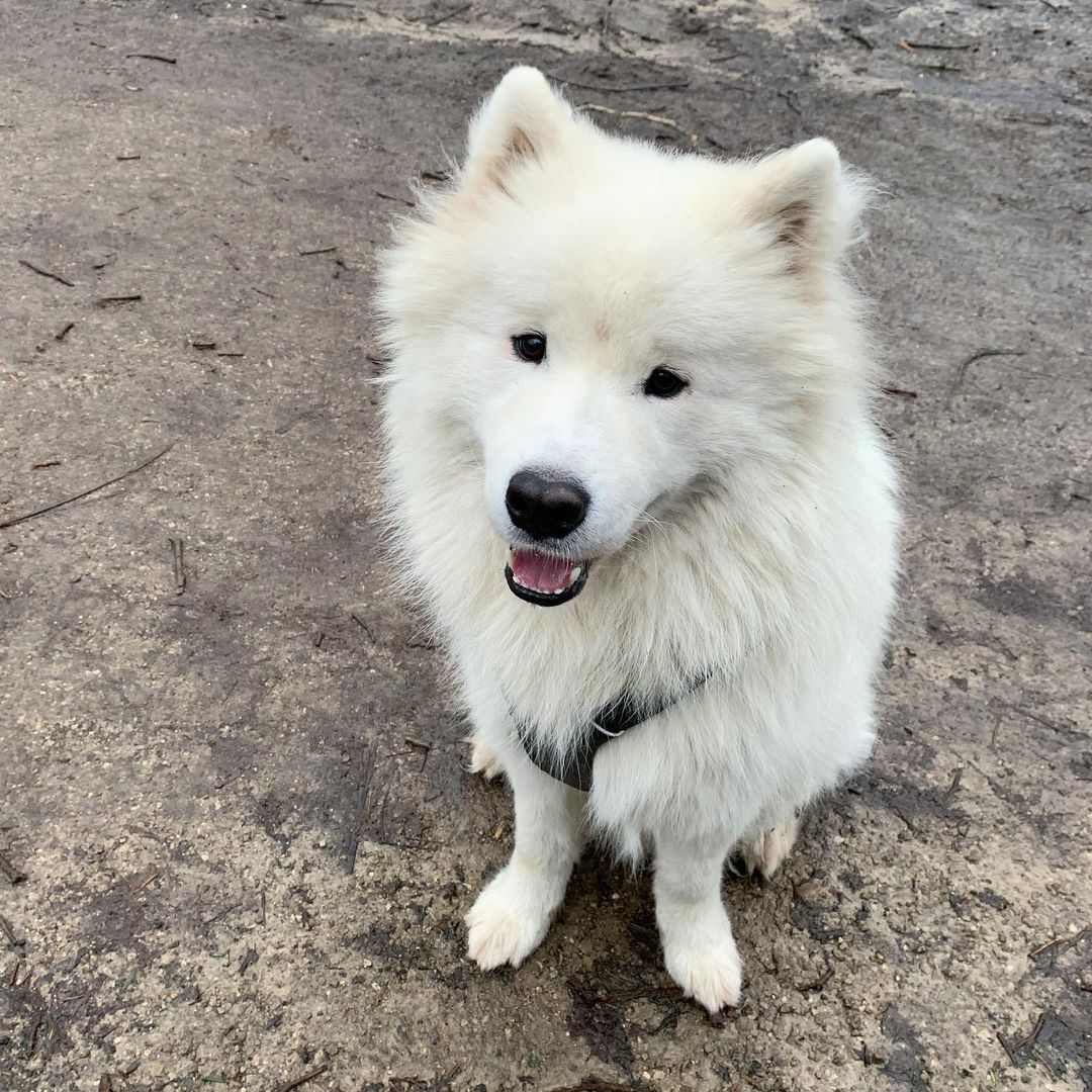 Chó Samoyed bị ghẻ- Nguyên nhân và cách chữa trị