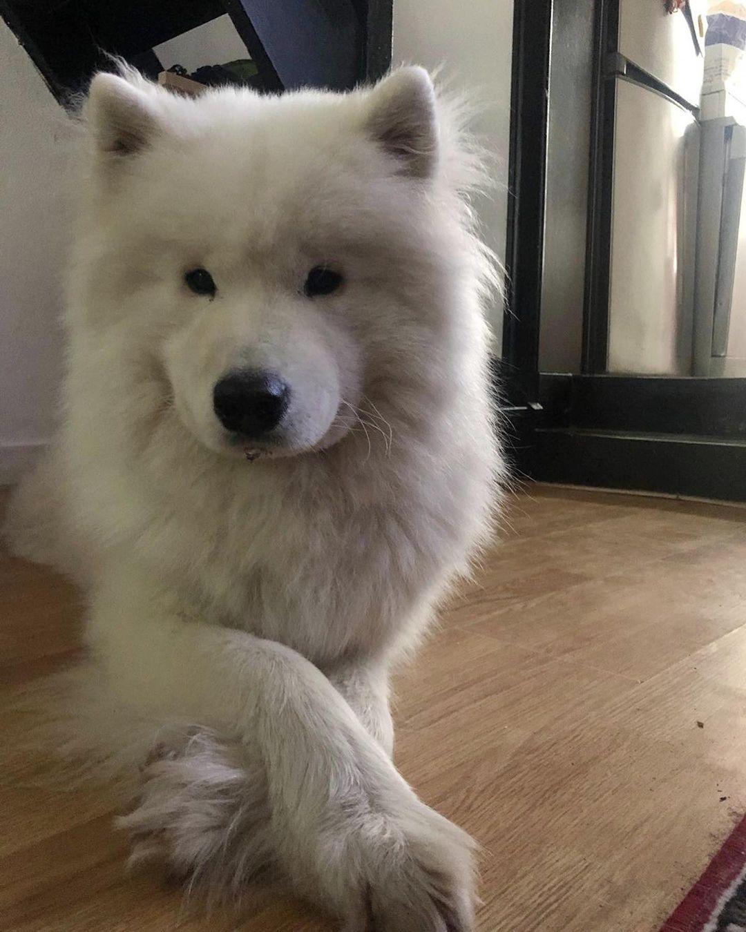 Cách chăm sóc lông và tắm cho chó Samoyed