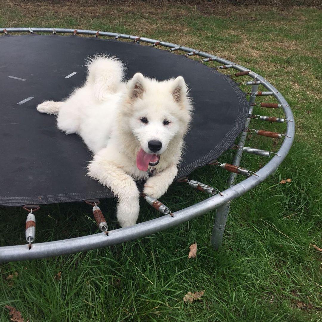 Chó Samoyed sinh sản lần đầu khi được bao nhiêu tháng