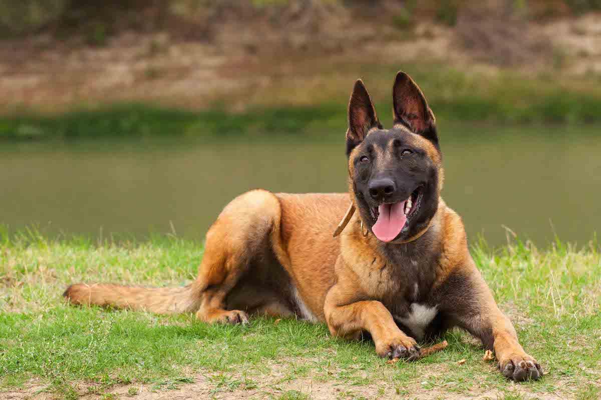 Giống chó Becgie Bỉ (Malinois)