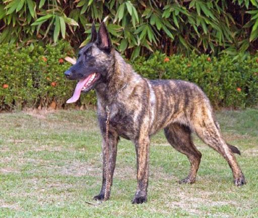 Đặc điểm tính cách chó Becgie Hà Lan