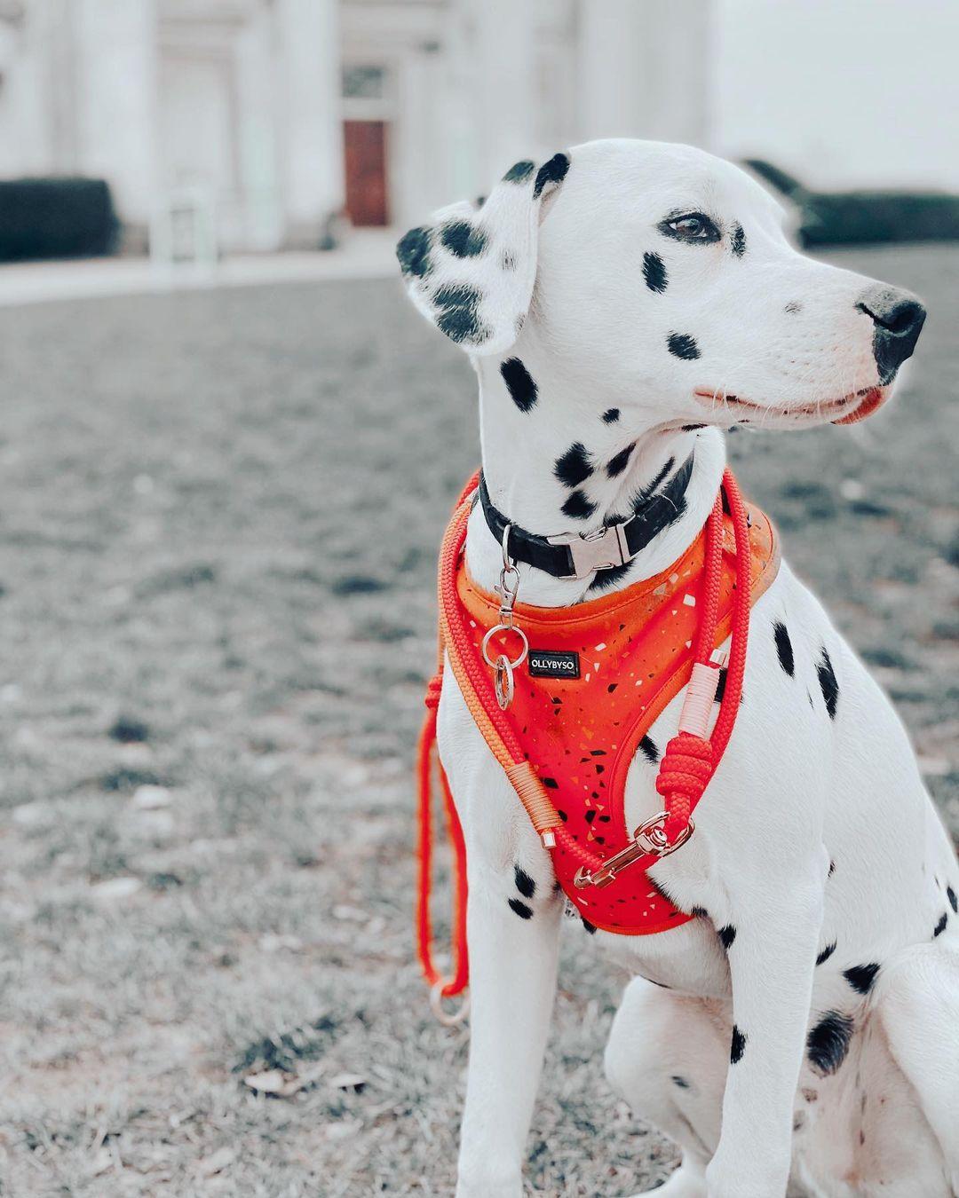 Nguồn gốc Chó Đốm Dalmatian