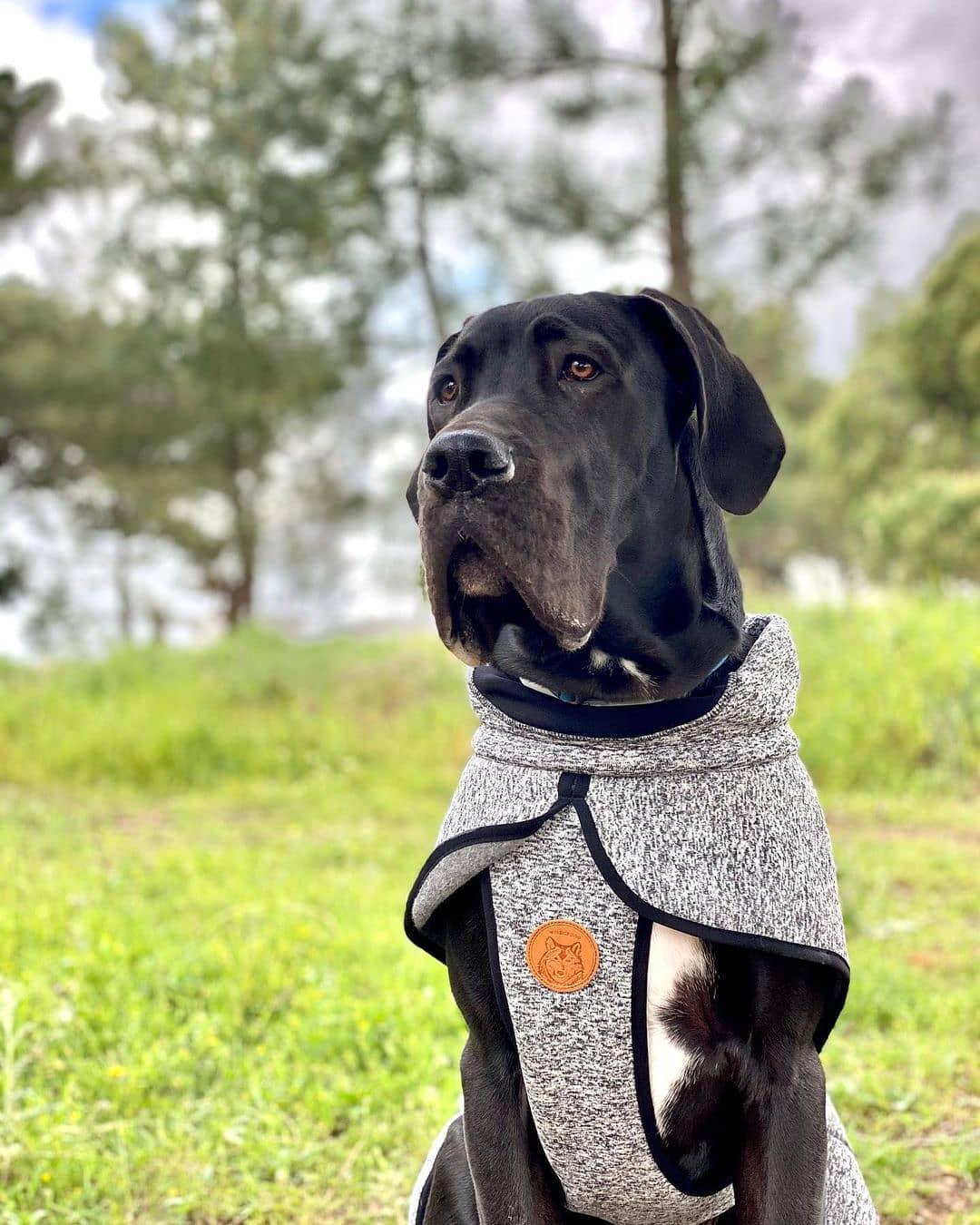 Giá chó Great Dane tại Việt Nam
