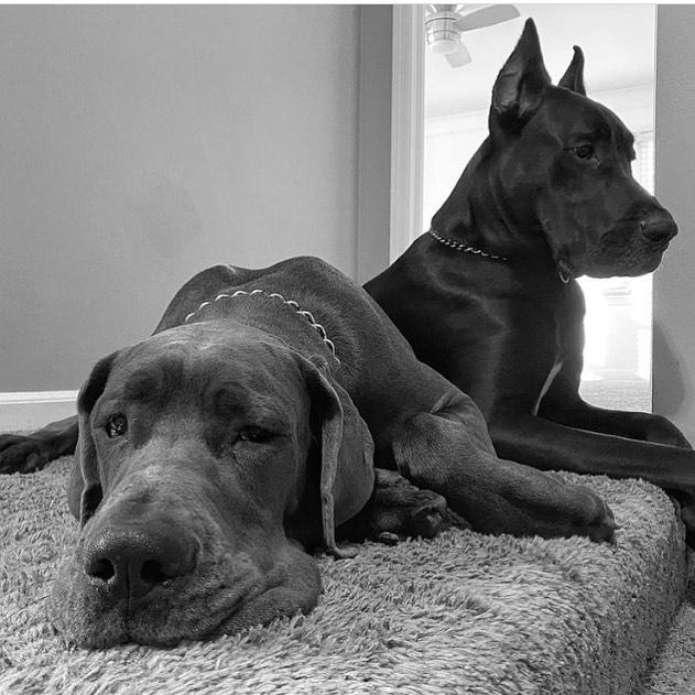 Lưu ý khi nuôi chó Great Dane