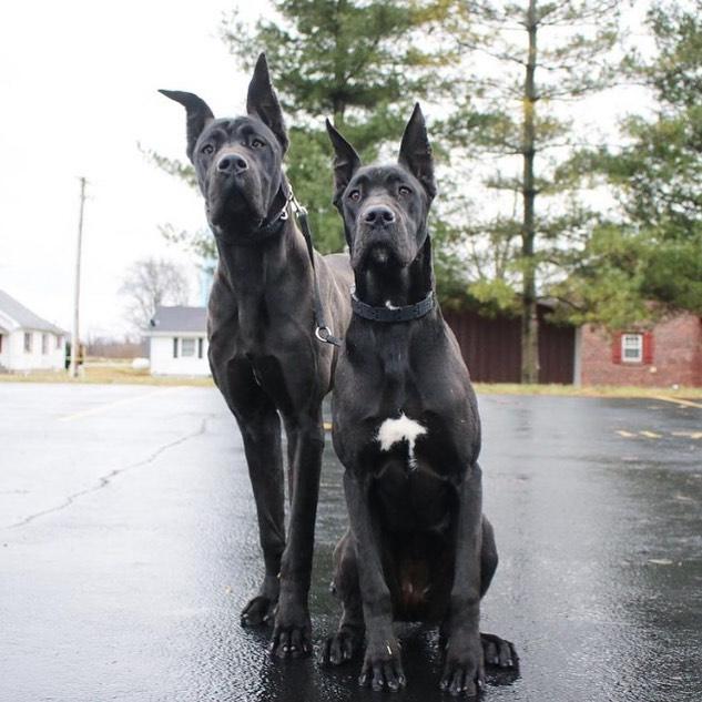 Chăm sóc chó Great Dane
