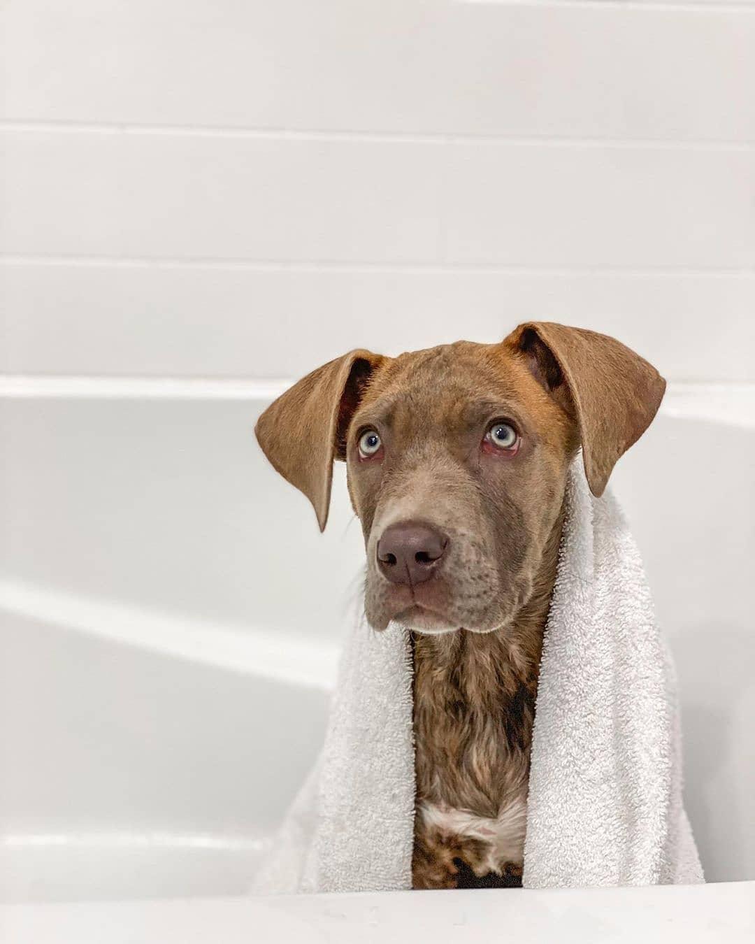 Chó Great Dane thân thiện và gần gũi