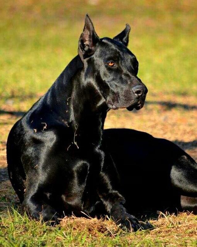Nguồn gốc chó Great Dane
