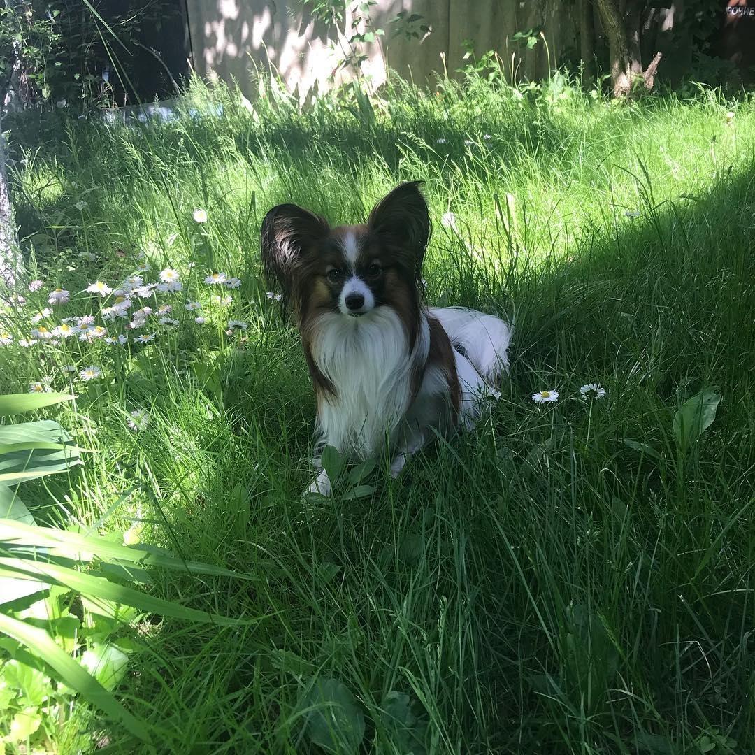 Chú chó thông minh, nhanh nhẹn và có dòng máu bảo vệ