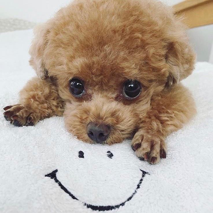 Cho poodle 14