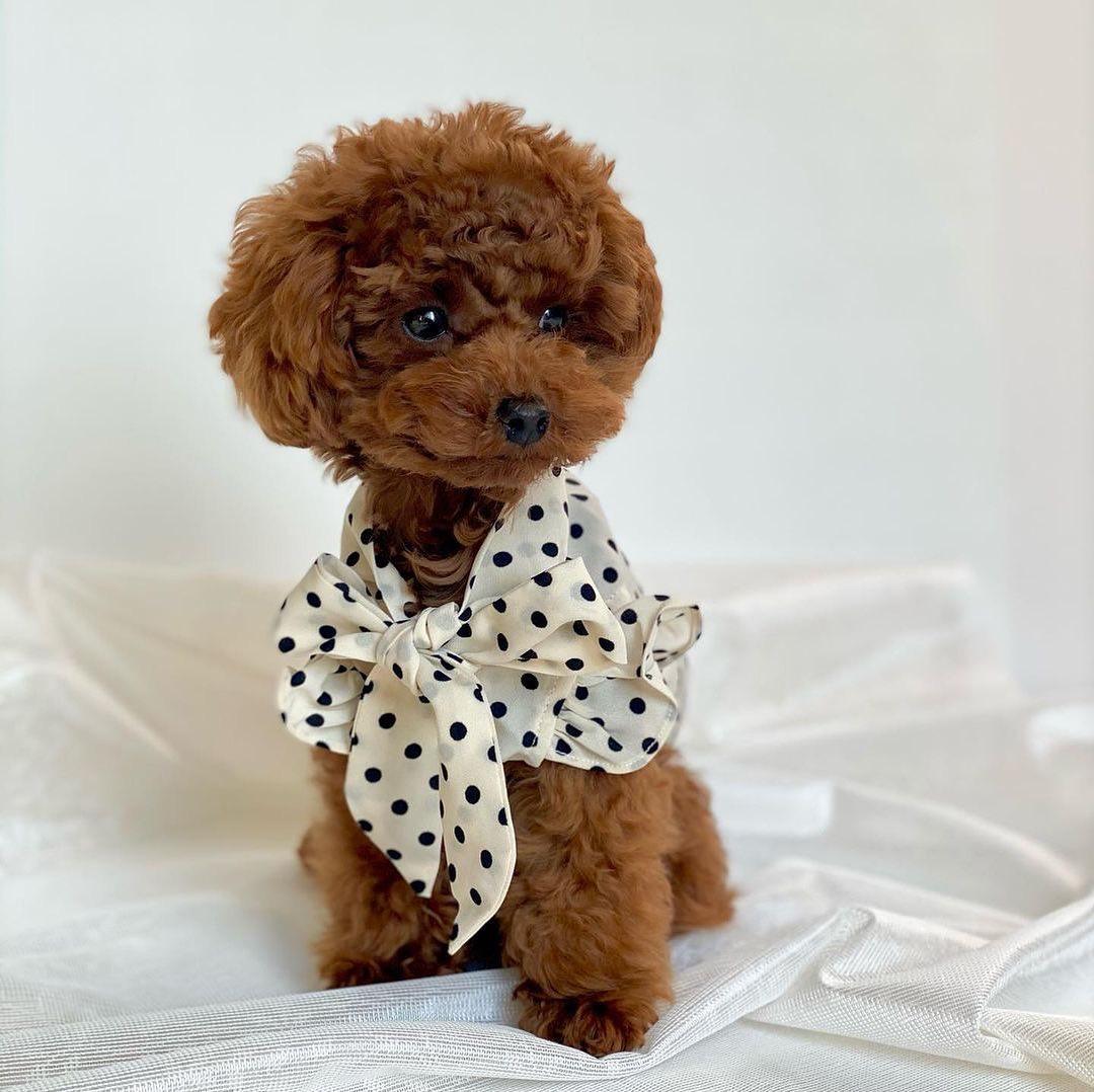 Cho poodle 18