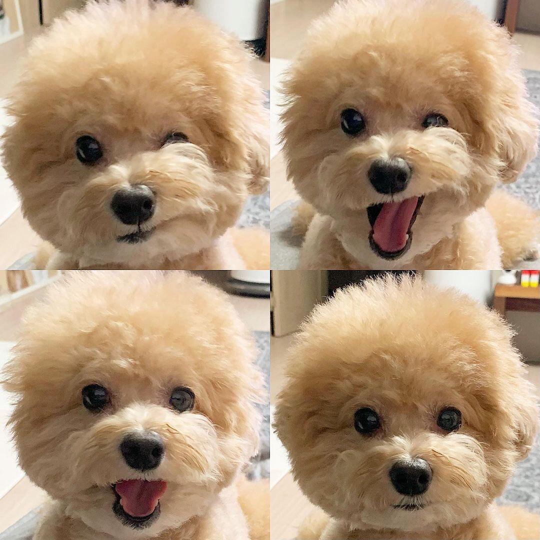 Cho poodle 27