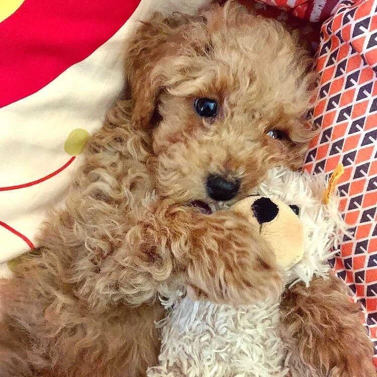 Cho poodle 3