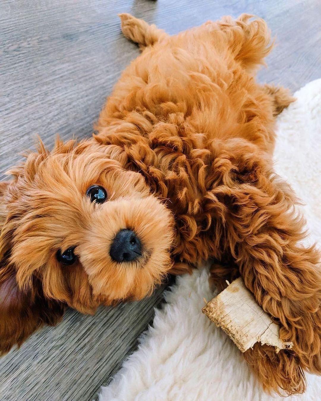 Thông Tin Thú Vị Về Chó Tiny Poodle